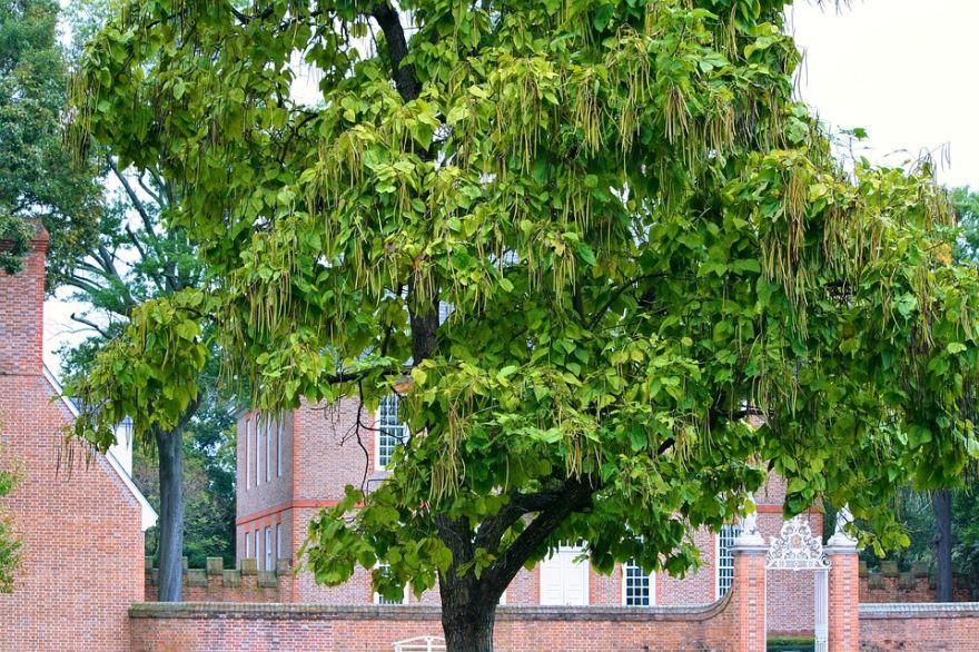 Фото осеннего дерева катальпы бесплатно
