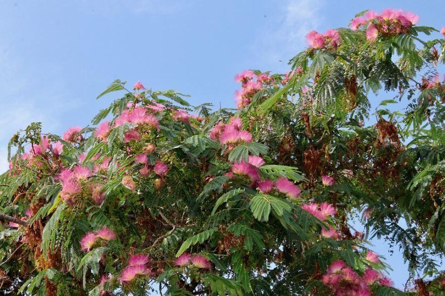 Фото растения катальпы из Подмосковья