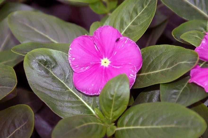 Фото растения катарантус в домашних условиях