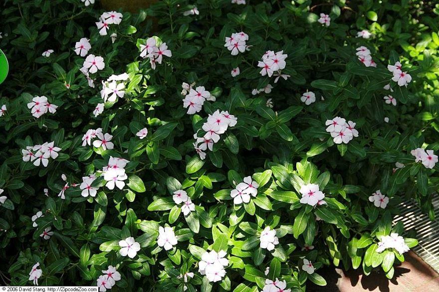 Фото осеннего растения катарантуса онлайн