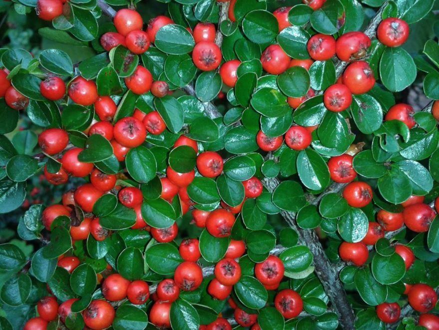 Скачать фото ягод кизильника онлайн