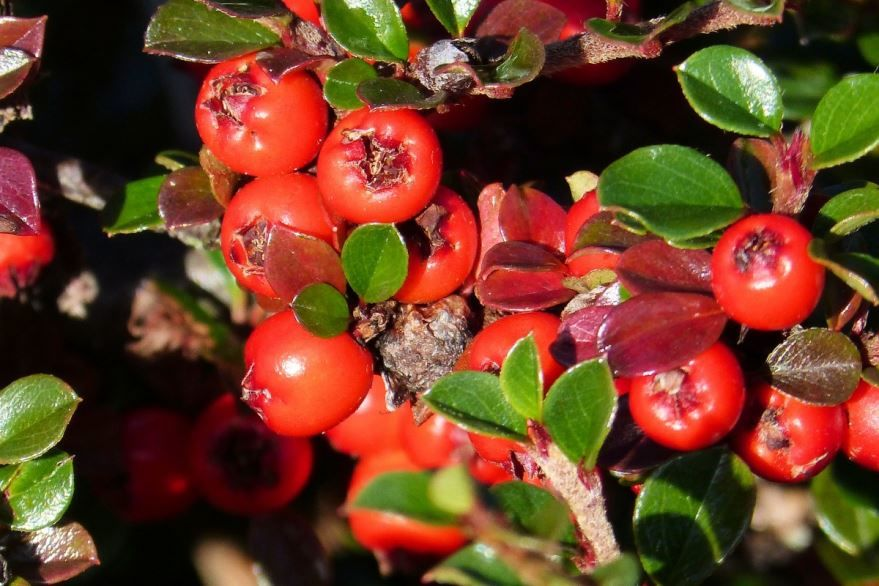Фото осеннего растения кизильника