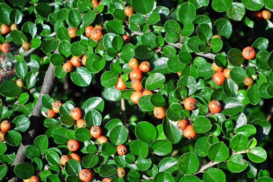 Фото блестящего растения кизильник в хорошем качестве