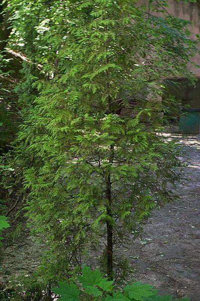 Купить фото растения кипарисовик грацилис? Скачайте бесплатно