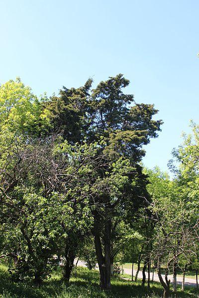 Фото домашнего растения – кипарисовик элвуди