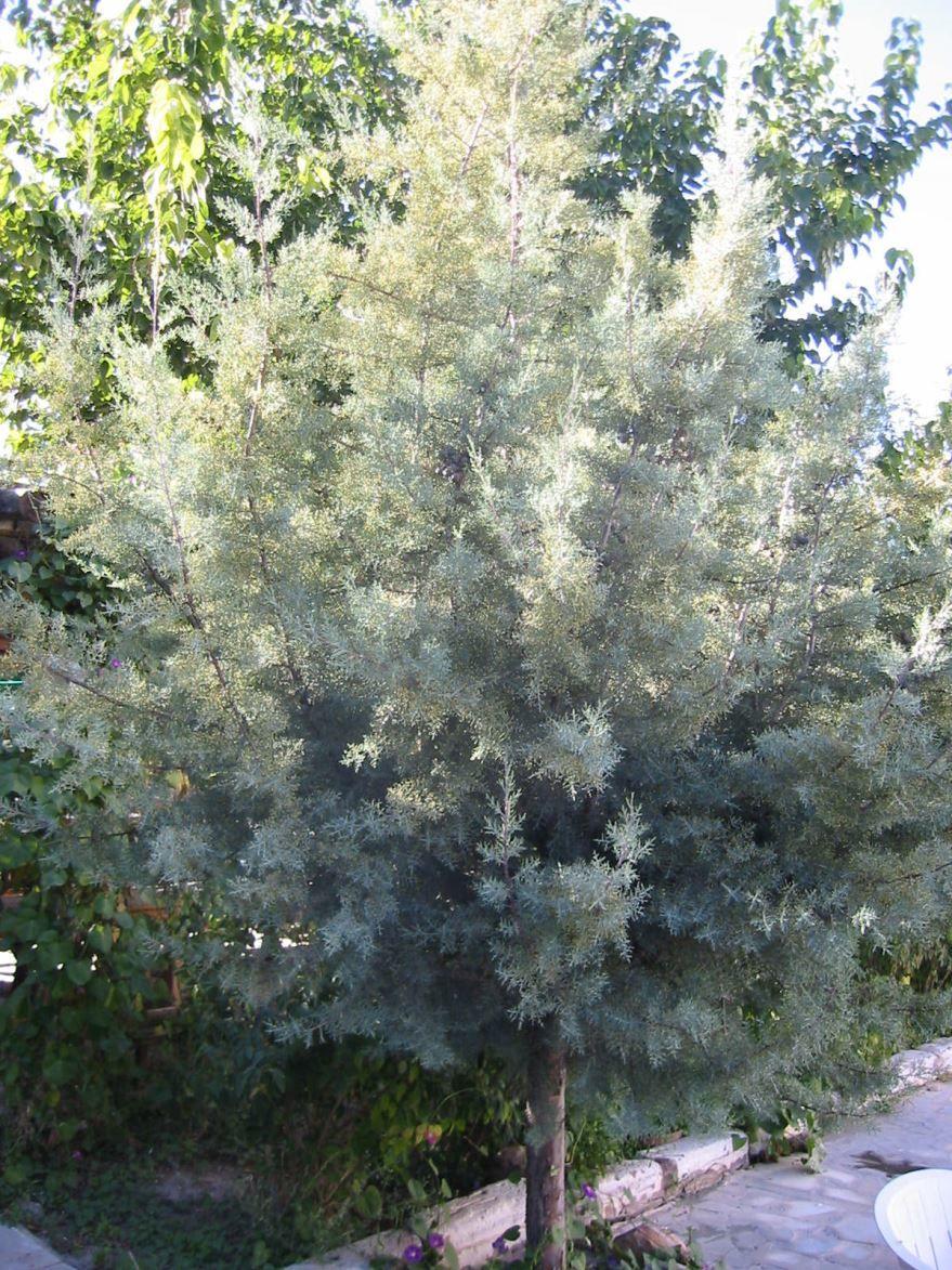 Фото посаженного растения кипарисовика булевард в открытый грунт