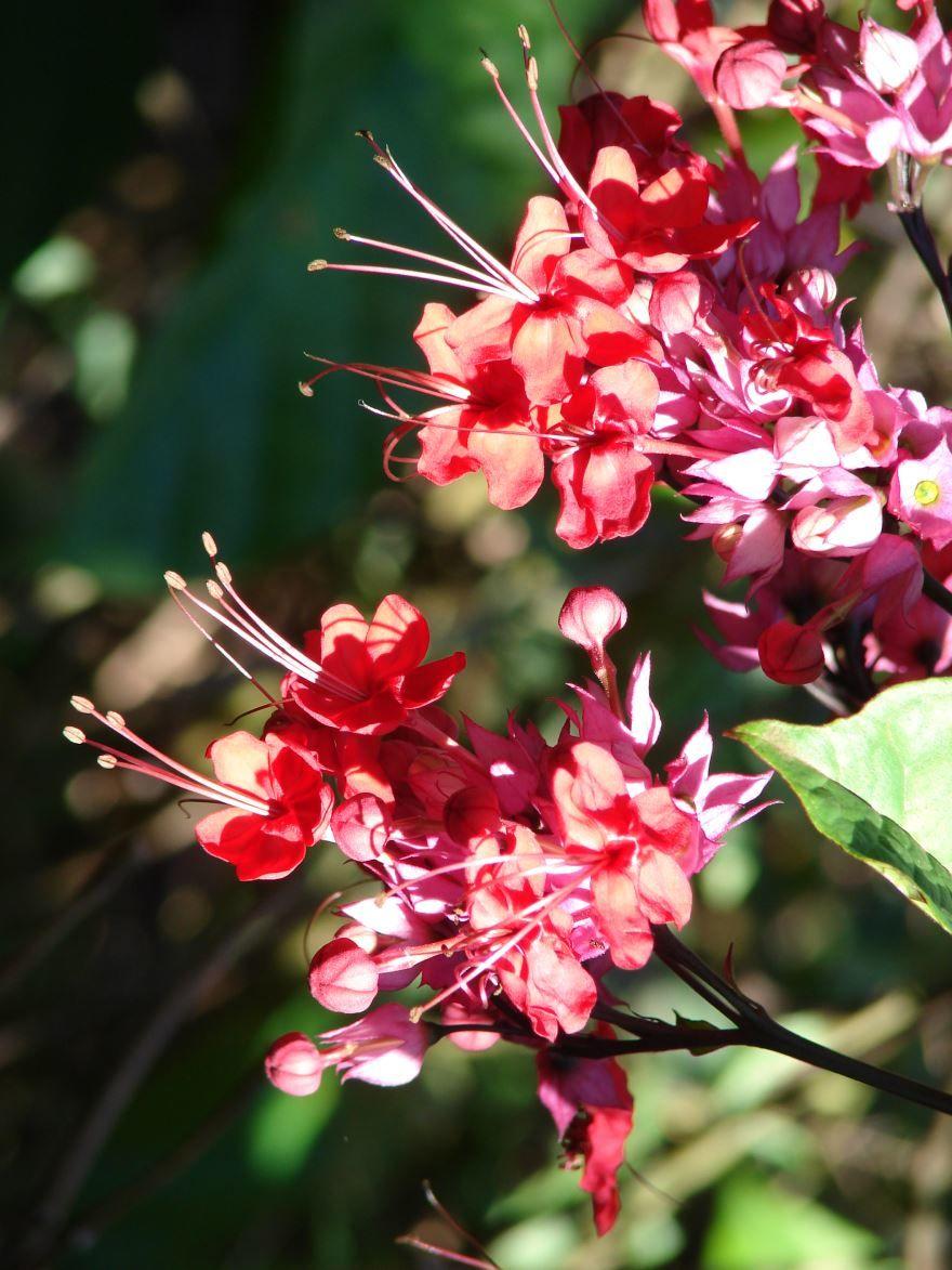 Фото домашнего растения – клеродендрум