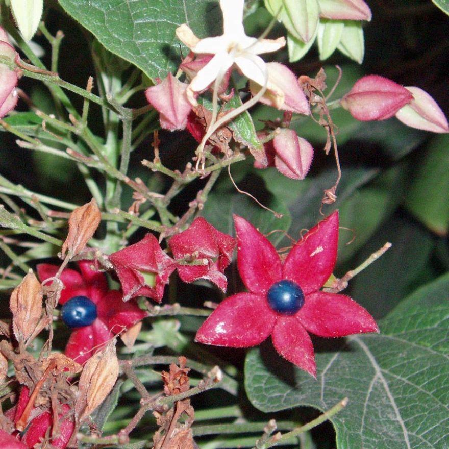 Скачать фото цветков растения клеродендрум