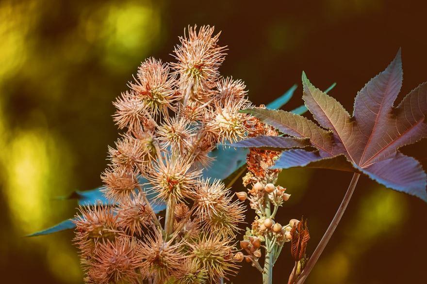 Фото обыкновенной клещевины, имеющей в составе яд