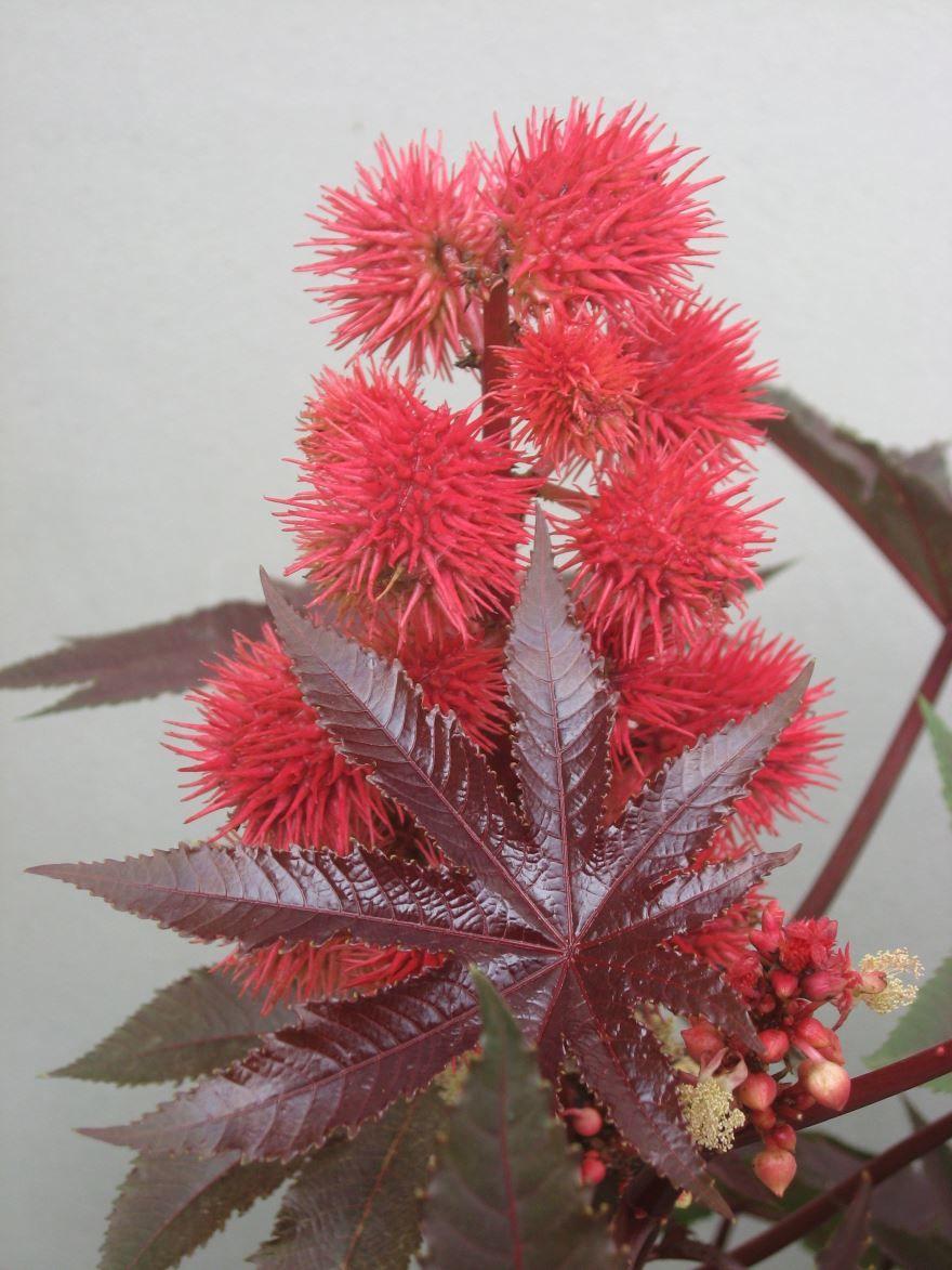 Купить фото растения – клещевина? Скачайте бесплатно