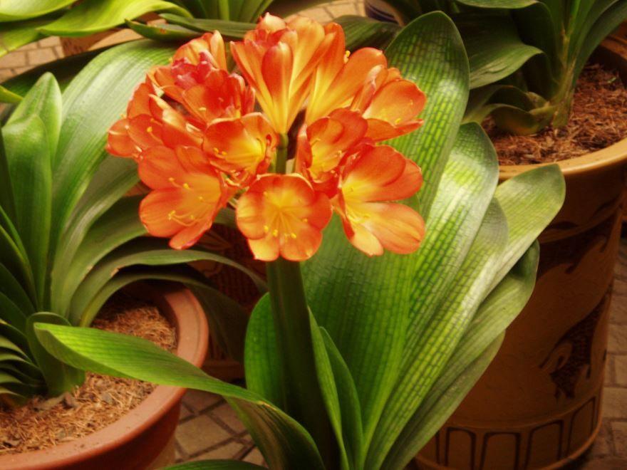 Фото комнатного растения кливии онлайн