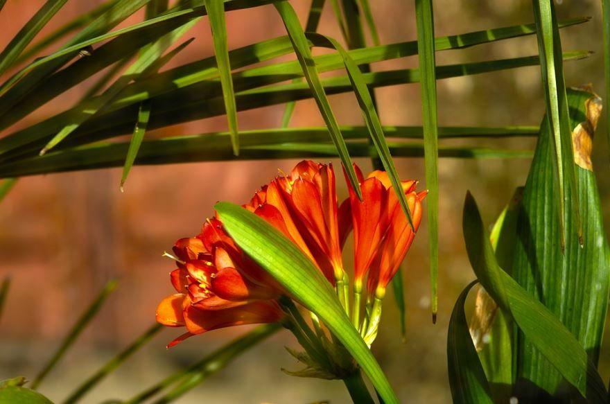 Фото домашнего цветка кливии в домашних условиях