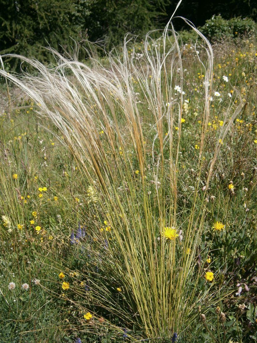Скачать фото травы перистого ковыля онлайн