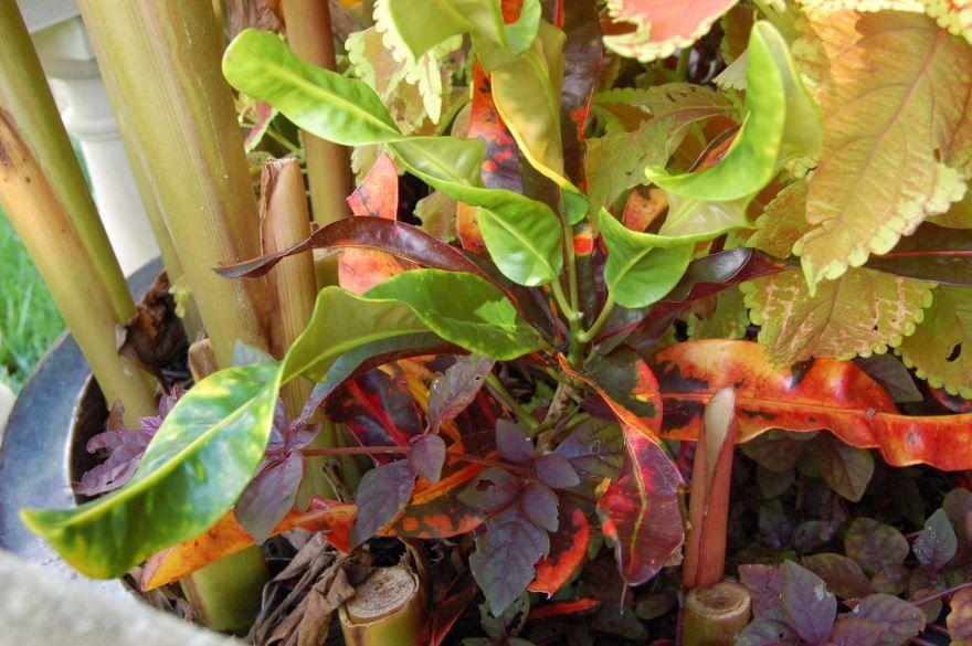 Фото комнатного растения кодиеума онлайн