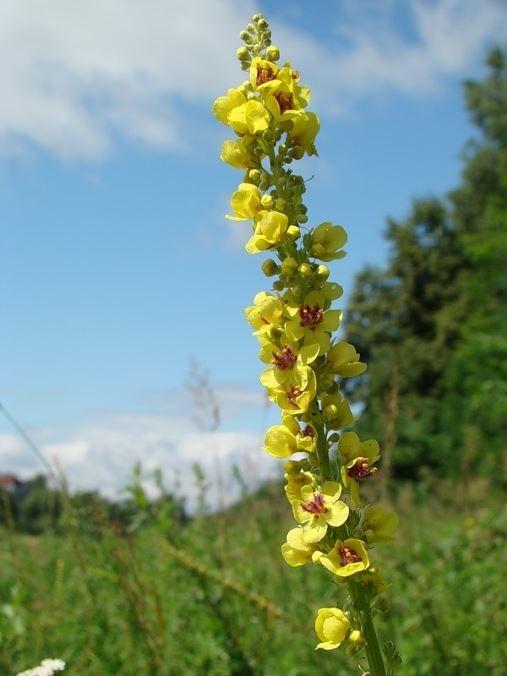 Фото растения коровяк, с полезными свойствами и противопоказаниями