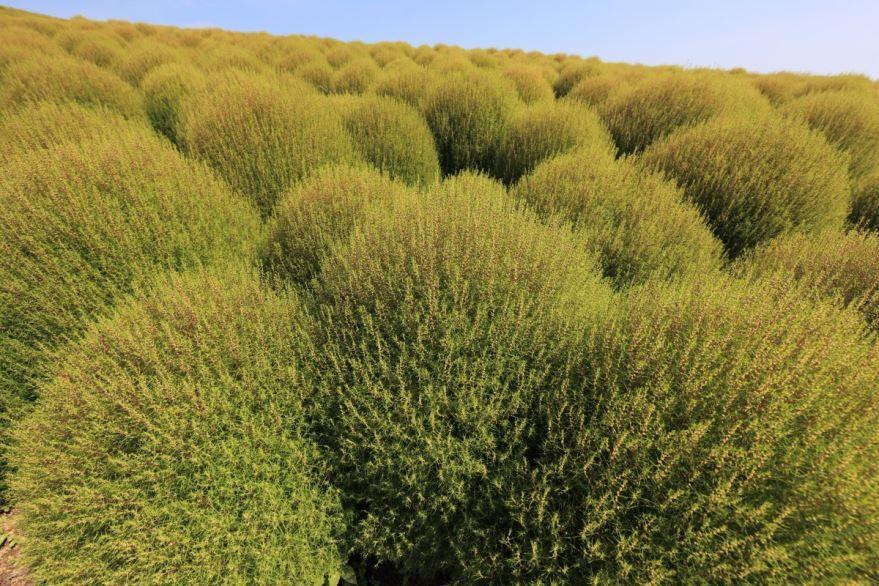 Смотреть фото растения кохии в открытом грунте