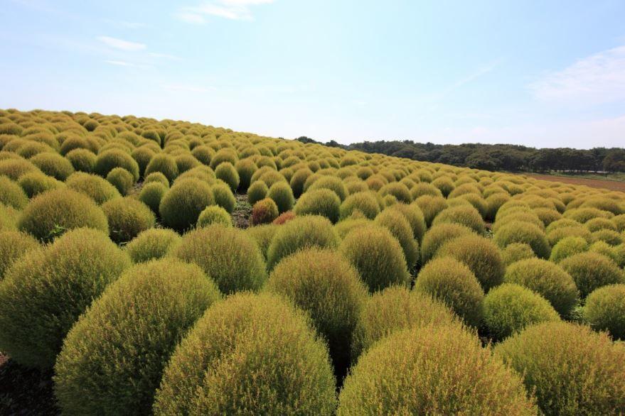 Скачать фото растения кохии кипариса