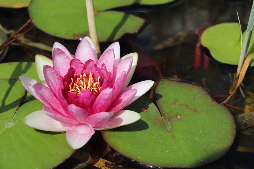 Смотреть фото растения кубышка в домашних условиях