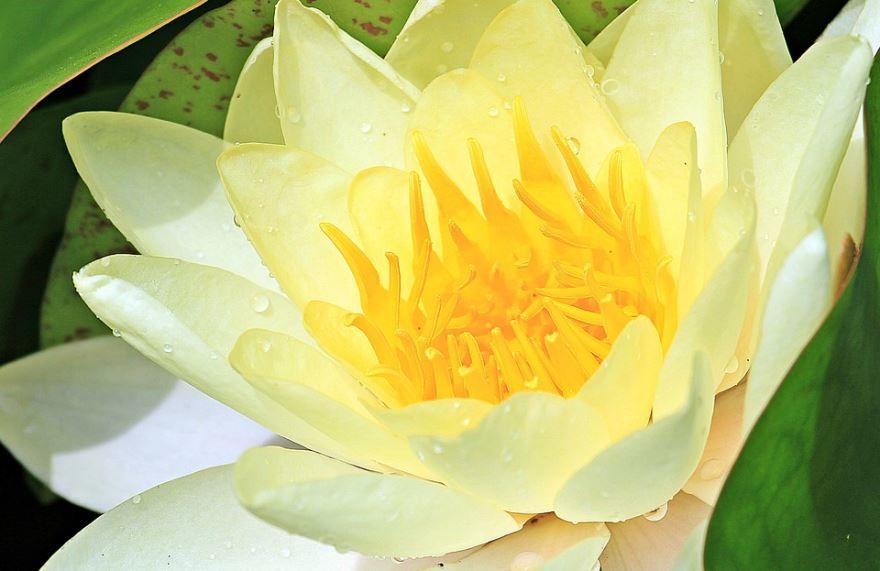 Фото комнатного растения кубышка онлайн