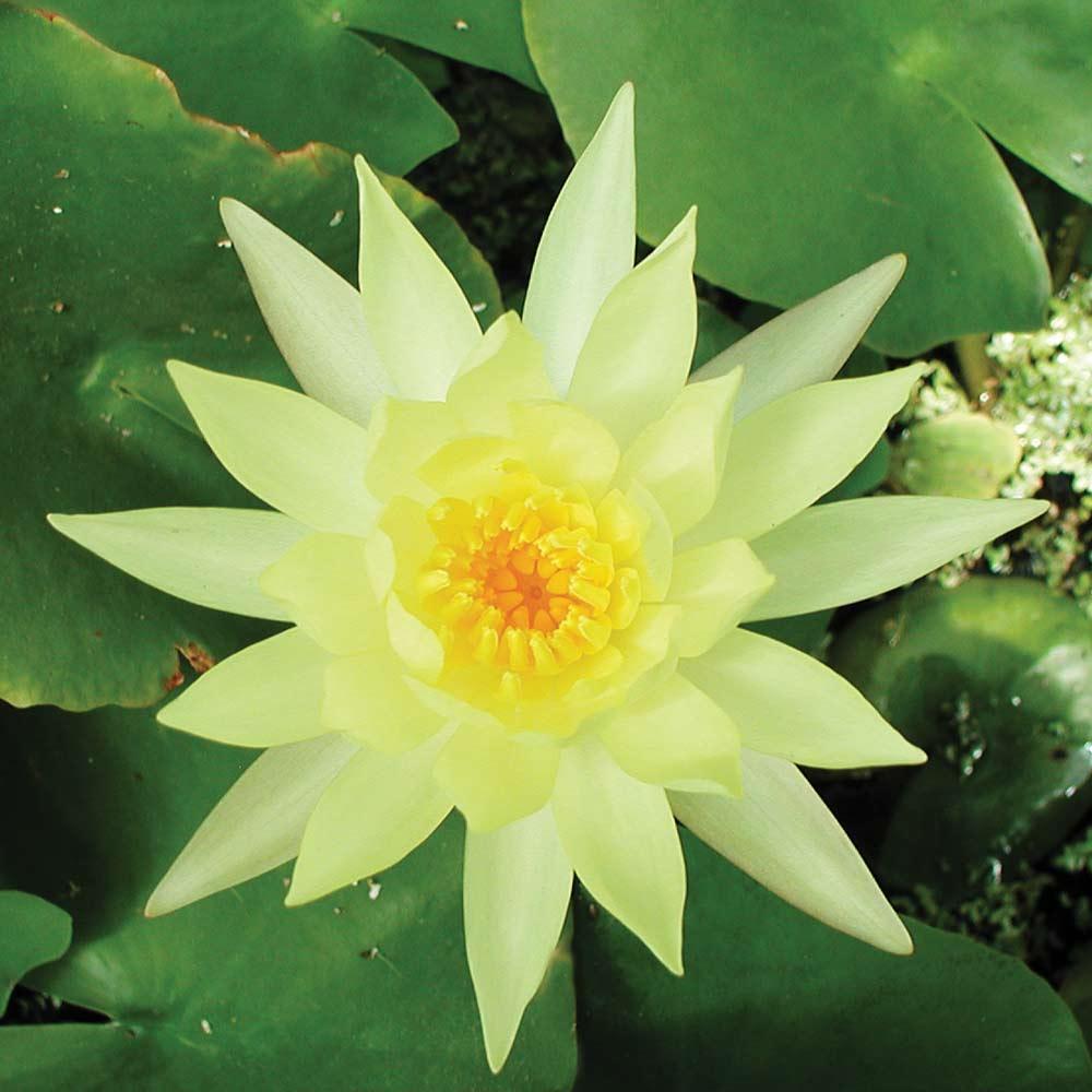 Смотреть фото комнатного цветка кубышка в домашних условиях