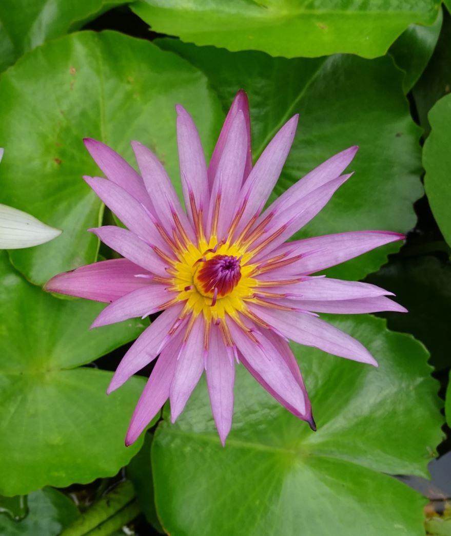 Смотреть фото растения – кувшинка из г. Чебоксары