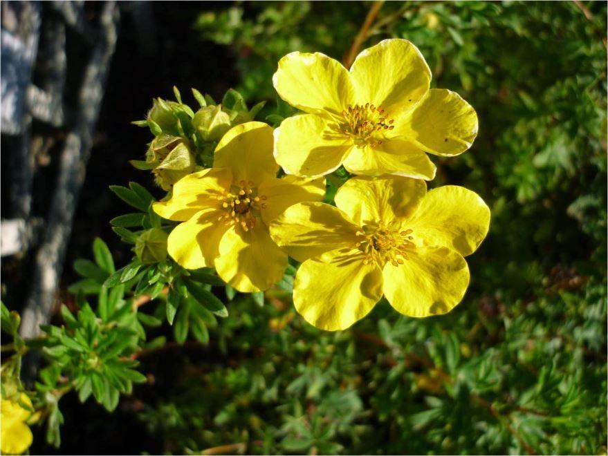 Купить фото растения лапчатка, обладающей полезными корнями? Скачайте бесплатно