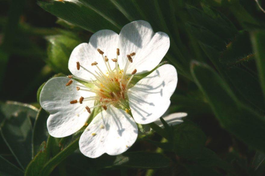 Фото кустарникового растения – лапчатки из Москвы, имеющей полезные свойства и противопоказания