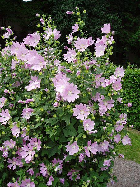 Фото многолетних цветов лаватеры бесплатно