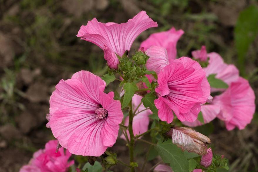 Посадка семян цветов лаватеры в открытый грунт