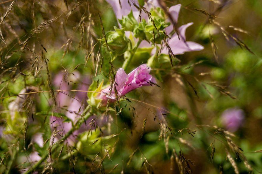 Смотреть фото цветов лаватеры многолетней посадки