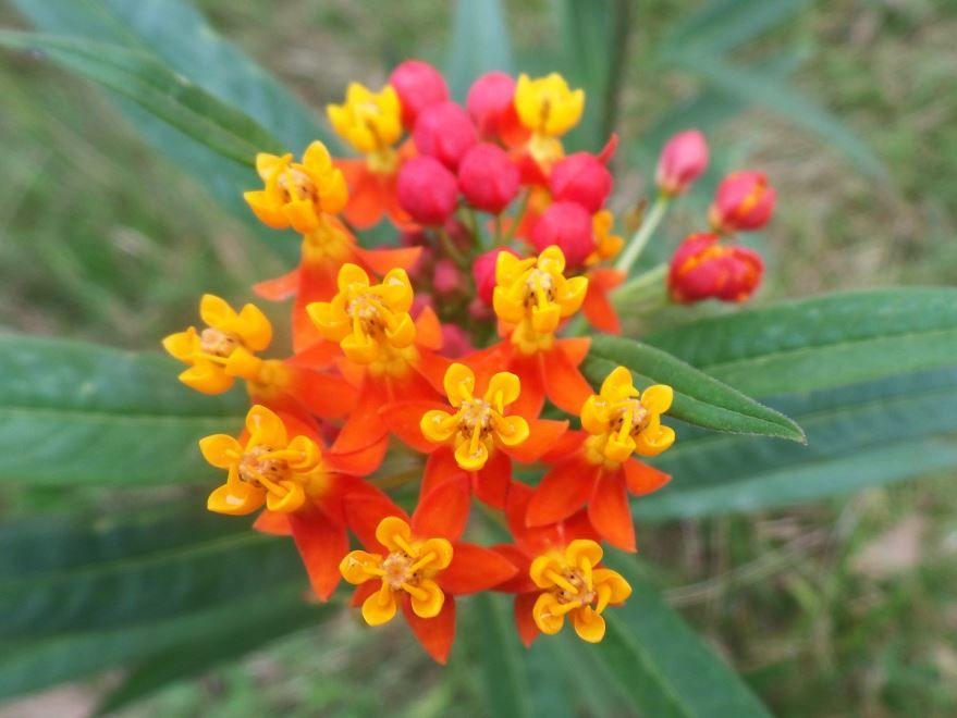 Фото домашних цветов лантаны бесплатно