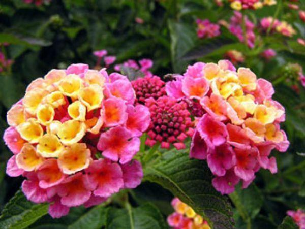 Купить фото цветков лантаны? Скачайте бесплатно