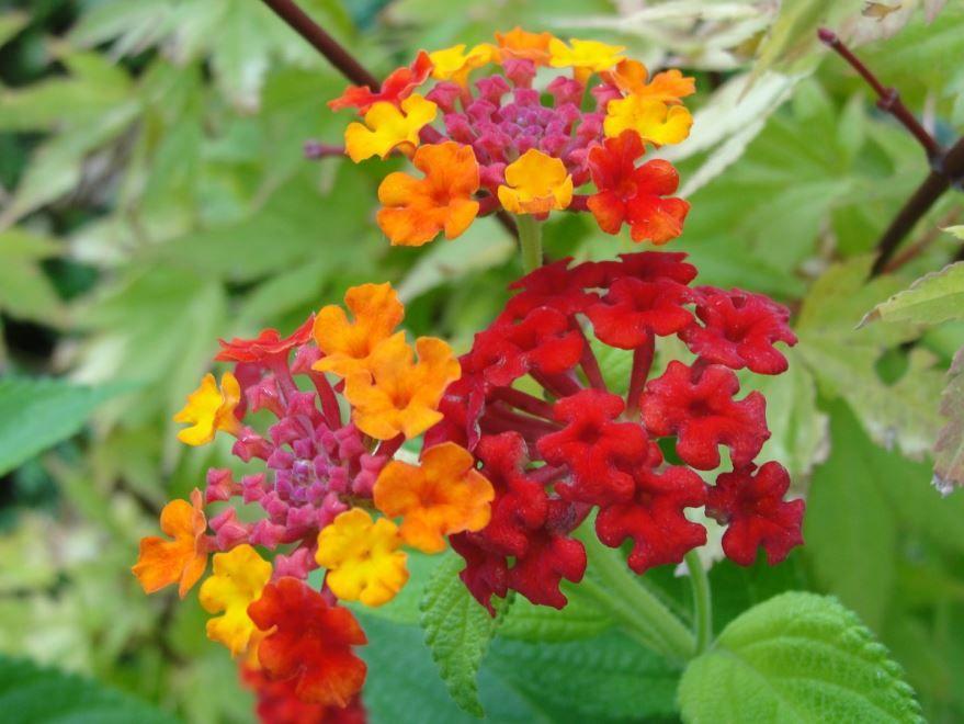 Скачать фото цветов лантаны, выращенных в домашних условиях