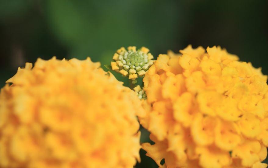Фото домашних цветов лантаны камара