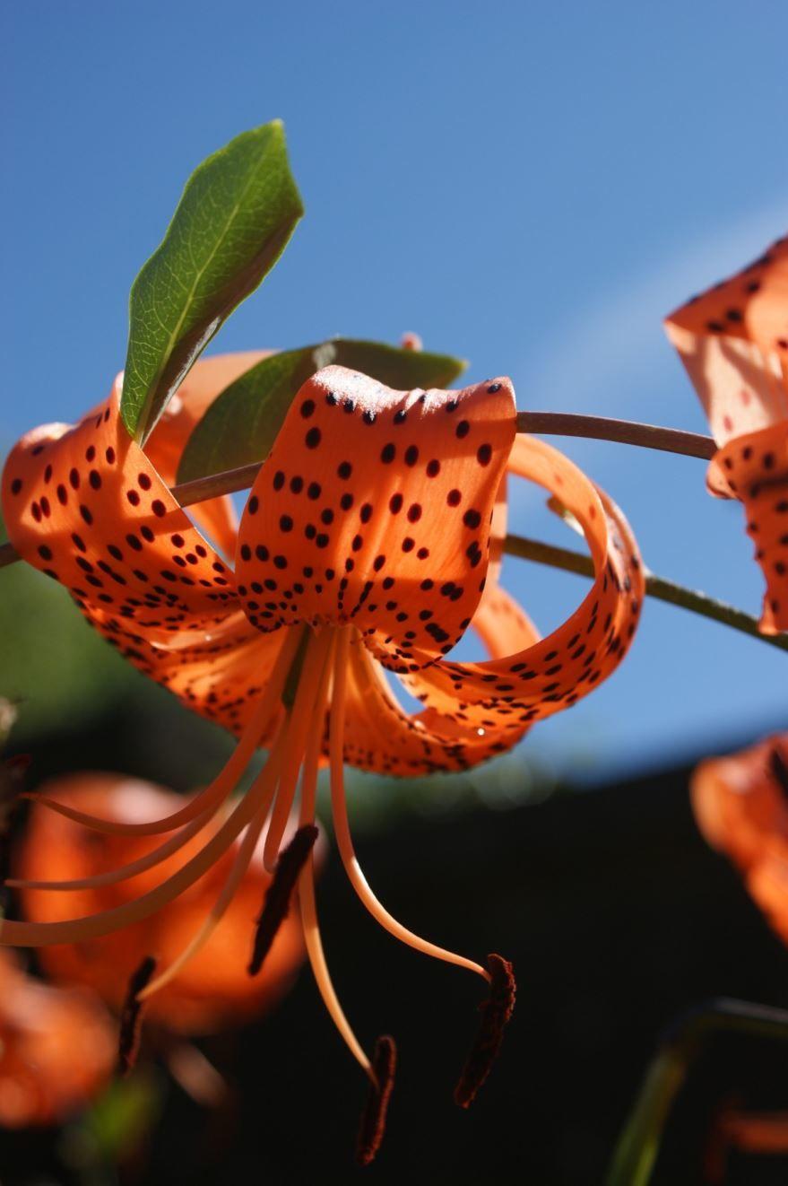 Купить фото растения лилейник? Скачайте бесплатно