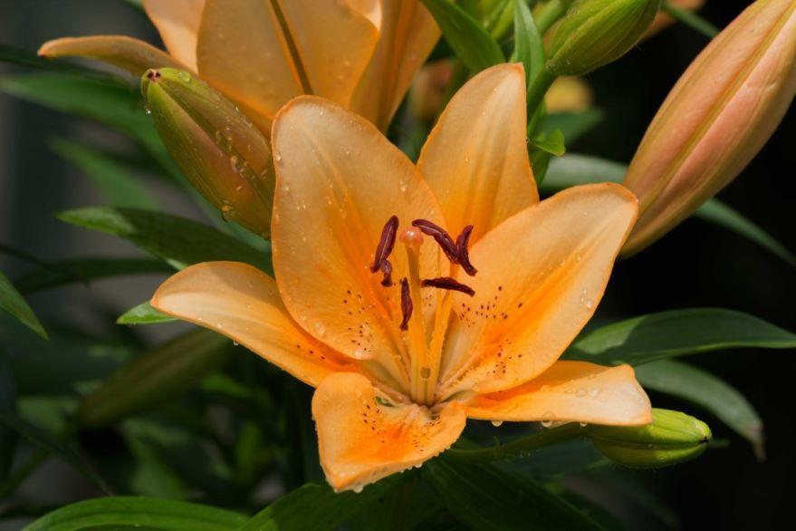 Фото осеннего растения лилейник, выращенного в открытом грунте