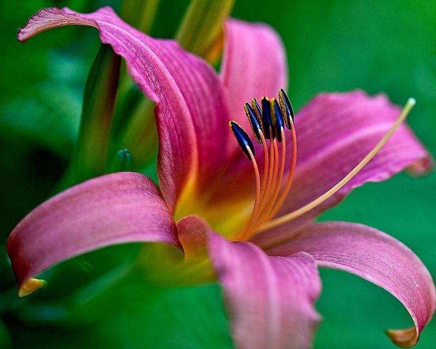 Фото цветков домашней, золотой лилии онлайн