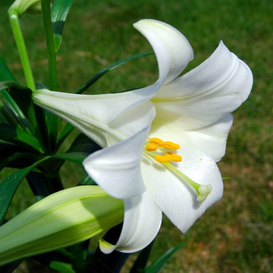 Купить фото водяной лилии для красивого букета