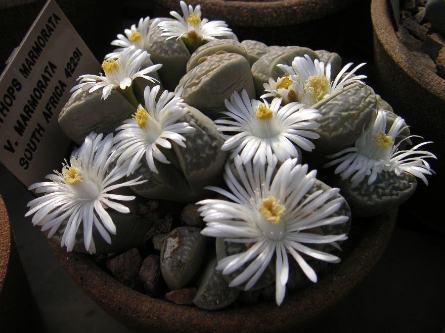 Фото растения цветов литопса в домашних условиях