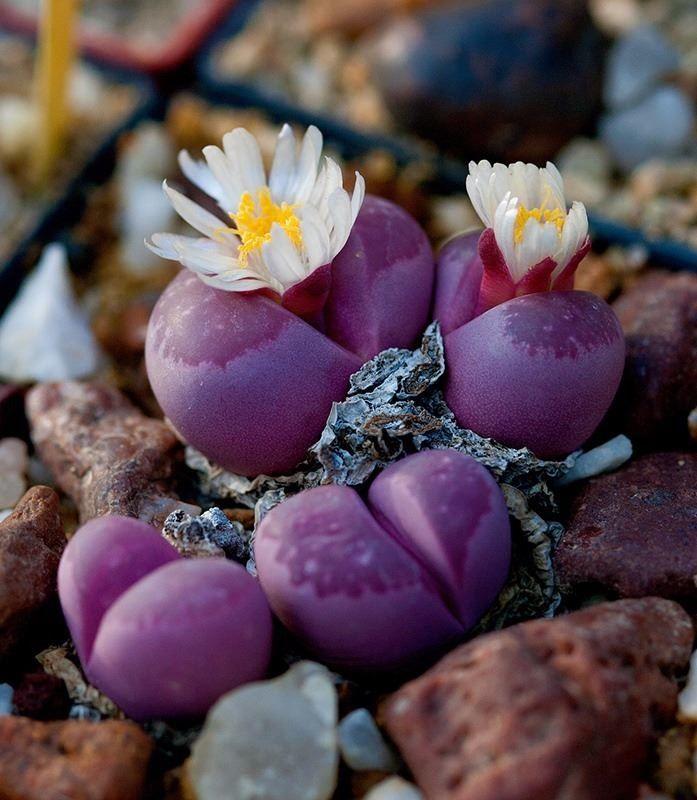 Смотреть фото домашних цветов литопса бесплатно