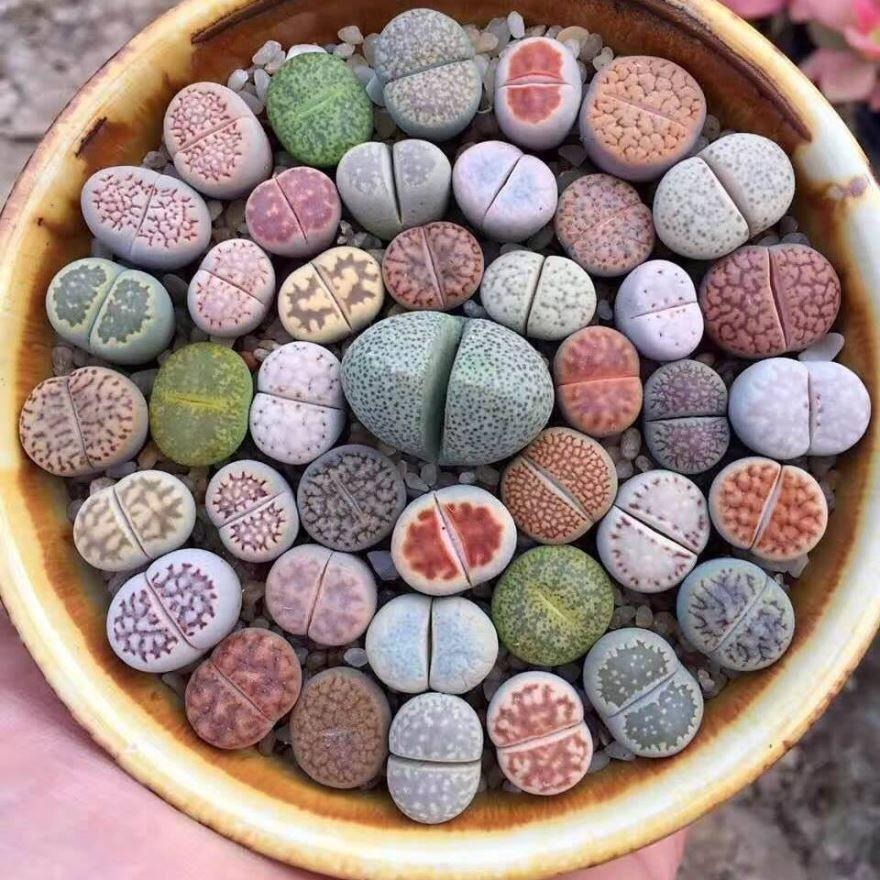 Фото растений-камней литопс в хорошем качестве