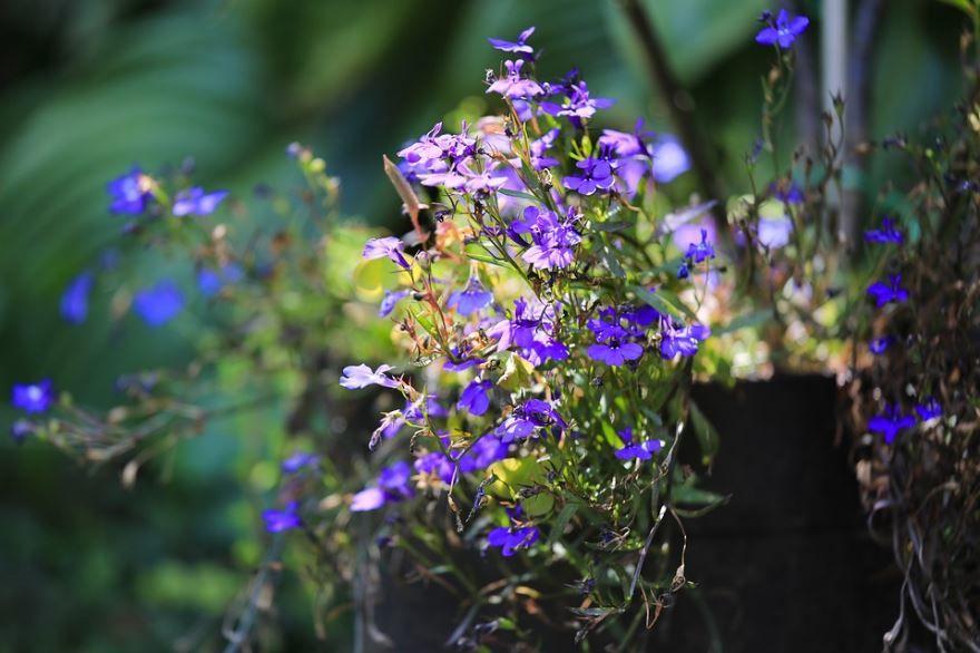 Скачать фото растения лобелия, выращенных в открытом грунте