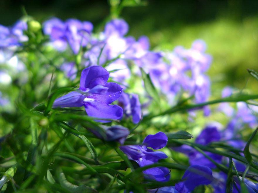 Фото цветов многолетнего растения ривьера лобелия бесплатно