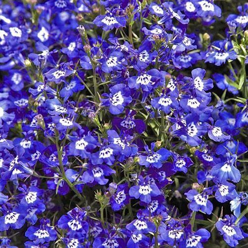 Смотреть фото цветов растения эринус лобелия бесплатно