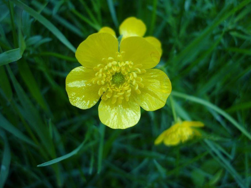 Смотреть фото садового растения лютика онлайн
