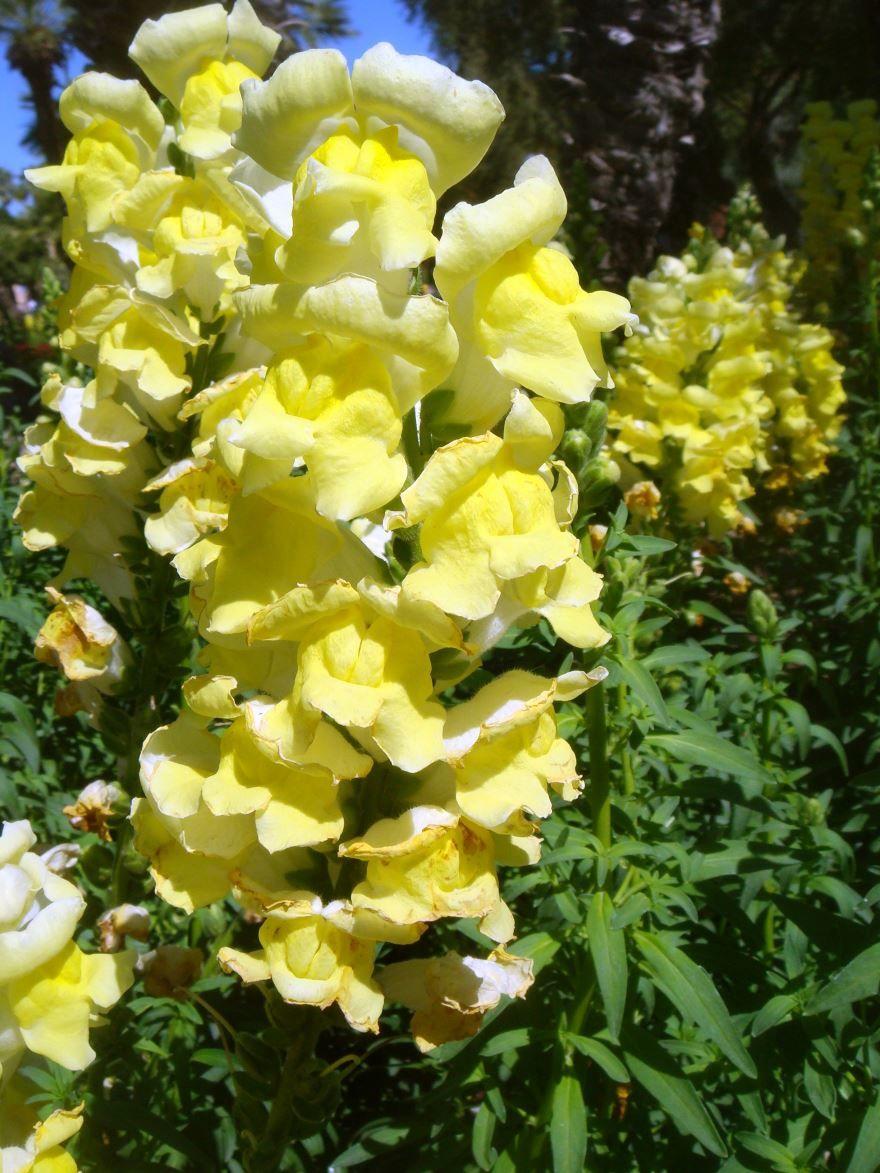 Фото и картинки однолетних желтых цветов львиного зева
