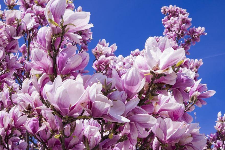 Скачать фото цветов дерева магнолия в Сочи