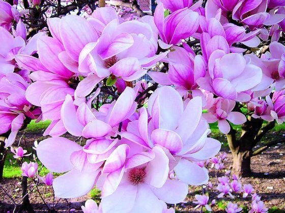 Смотреть фото цветов магнолии бесплатно