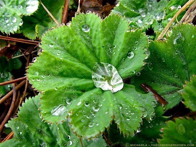 Смотреть фото лечебного растения – манжетка онлайн