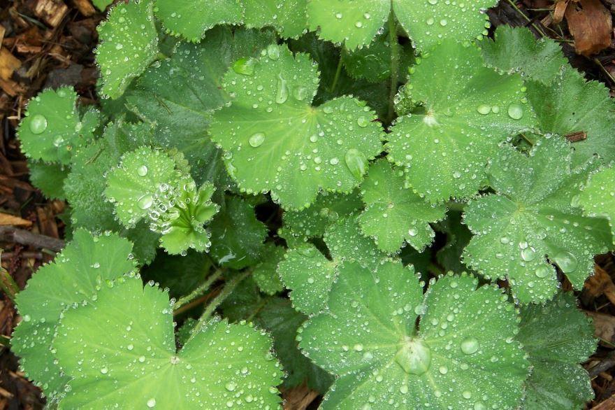 Фото травы манжетки с полезными свойствами и противопоказаниями